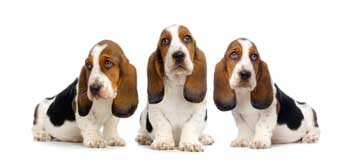 3-cute-basset-hound-puppies