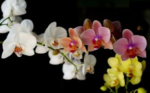 orchids-wallpaper-00691_high